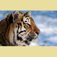 """Набор алмазной живописи ИМПЕРИЯ БИСЕРА """"Взгляд тигра"""""""